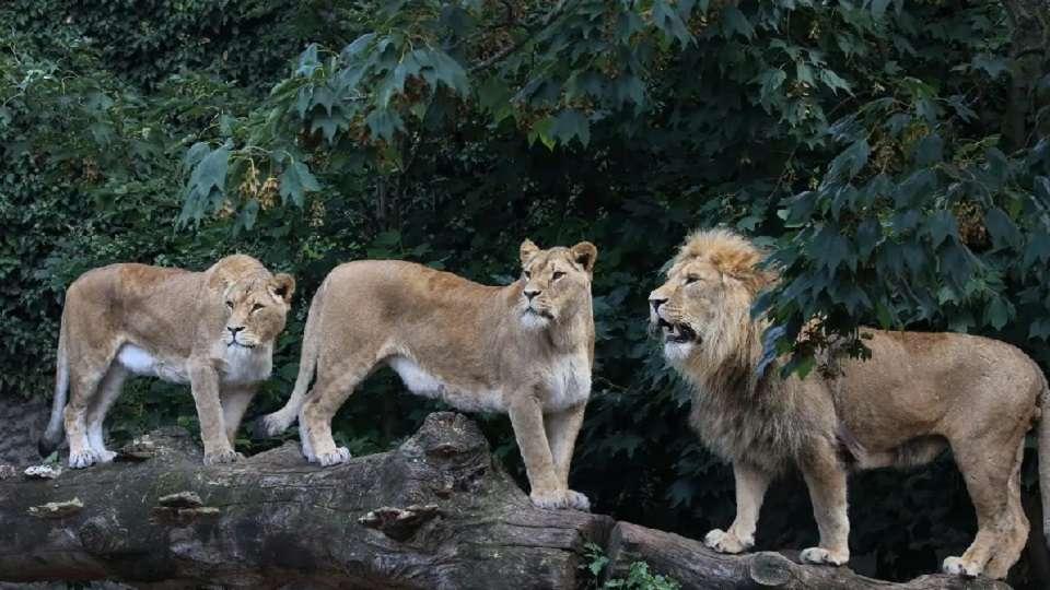 lions 27/5